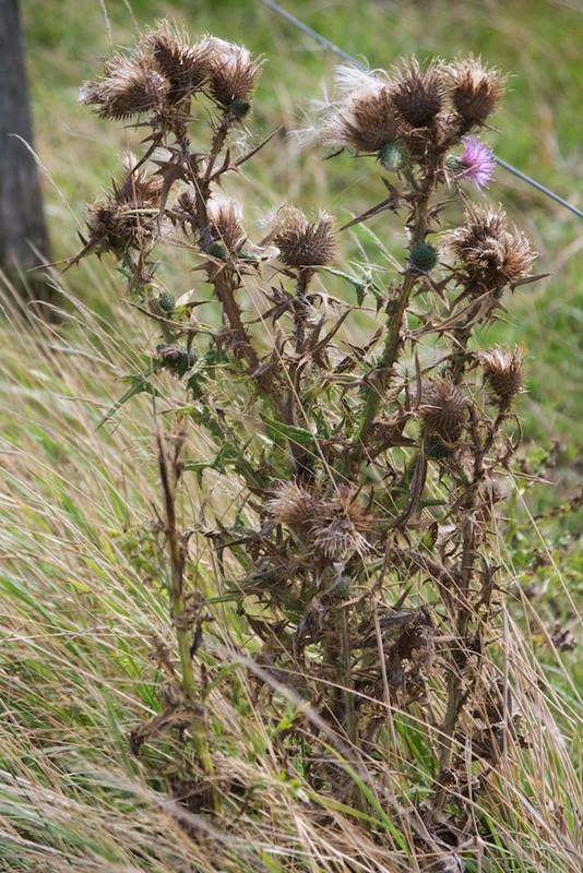 Foto/billede af Horse-Tidsel (Cirsium vulgare)