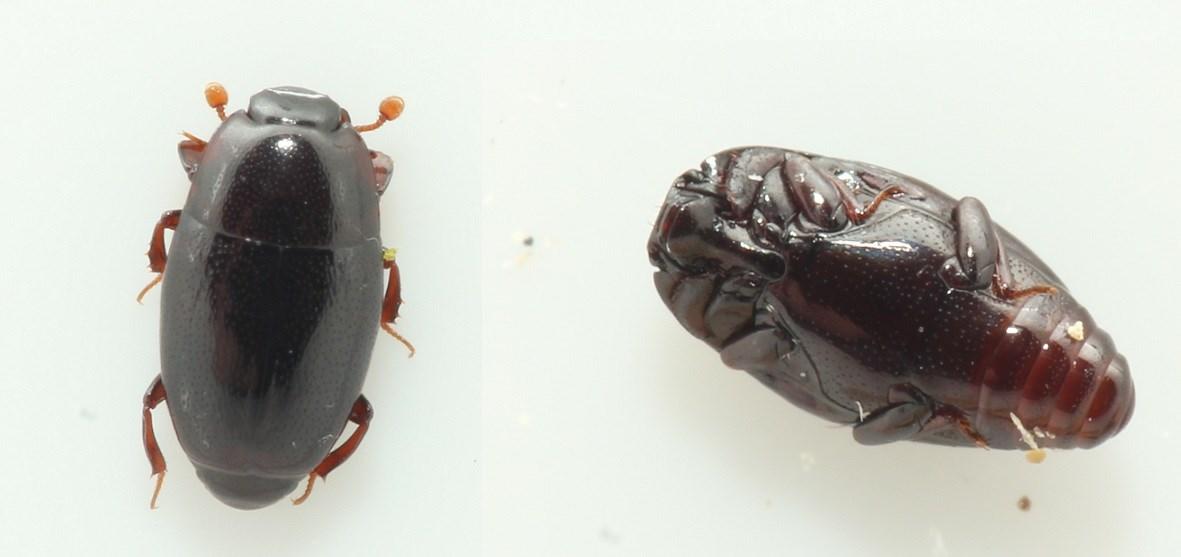 Almindelig Træstumpbille (Paromalus flavicornis)