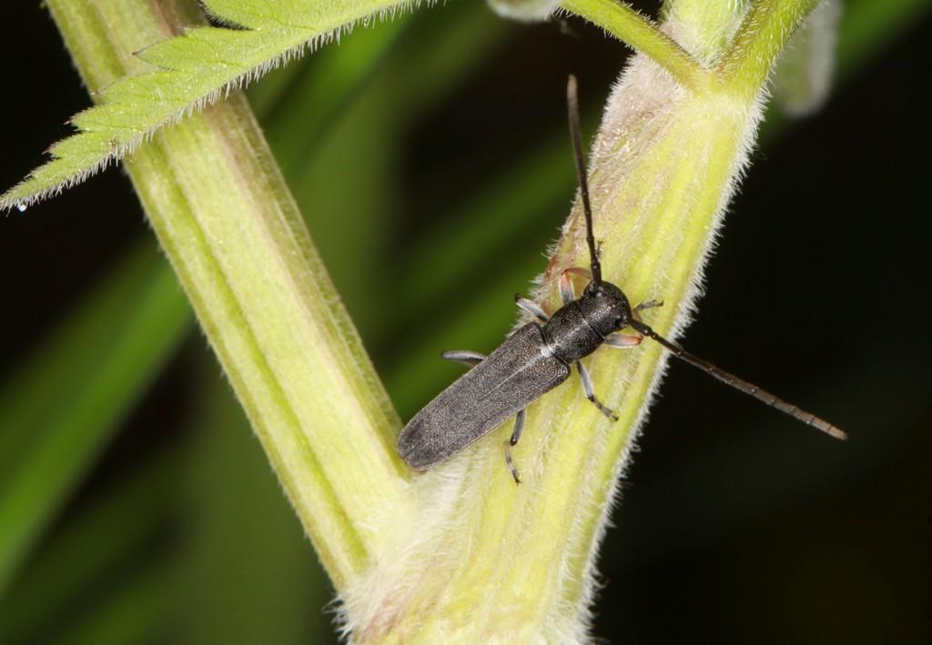 Foto/billede af Kørvelbuk (Phytoecia cylindrica)