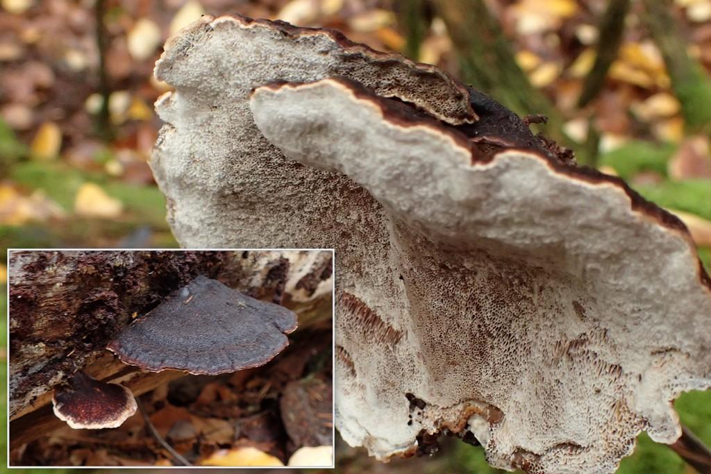 Foto/billede af Gran-Tjæreporesvamp (Ischnoderma benzoinum)