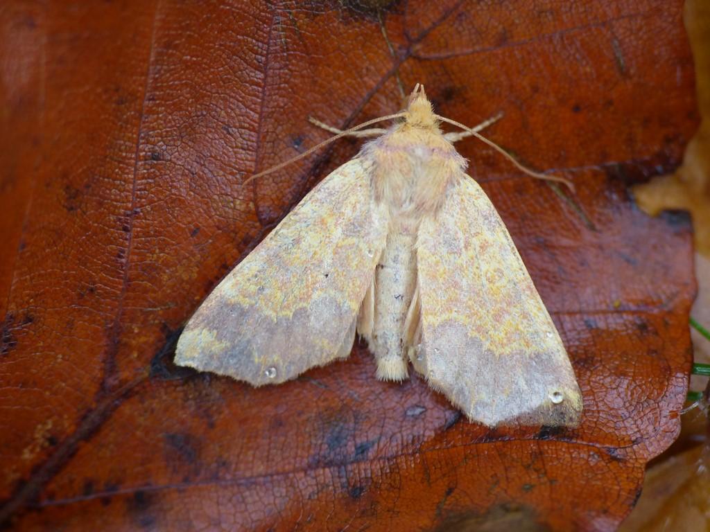 Foto/billede af Guldugle (Tiliacea aurago)