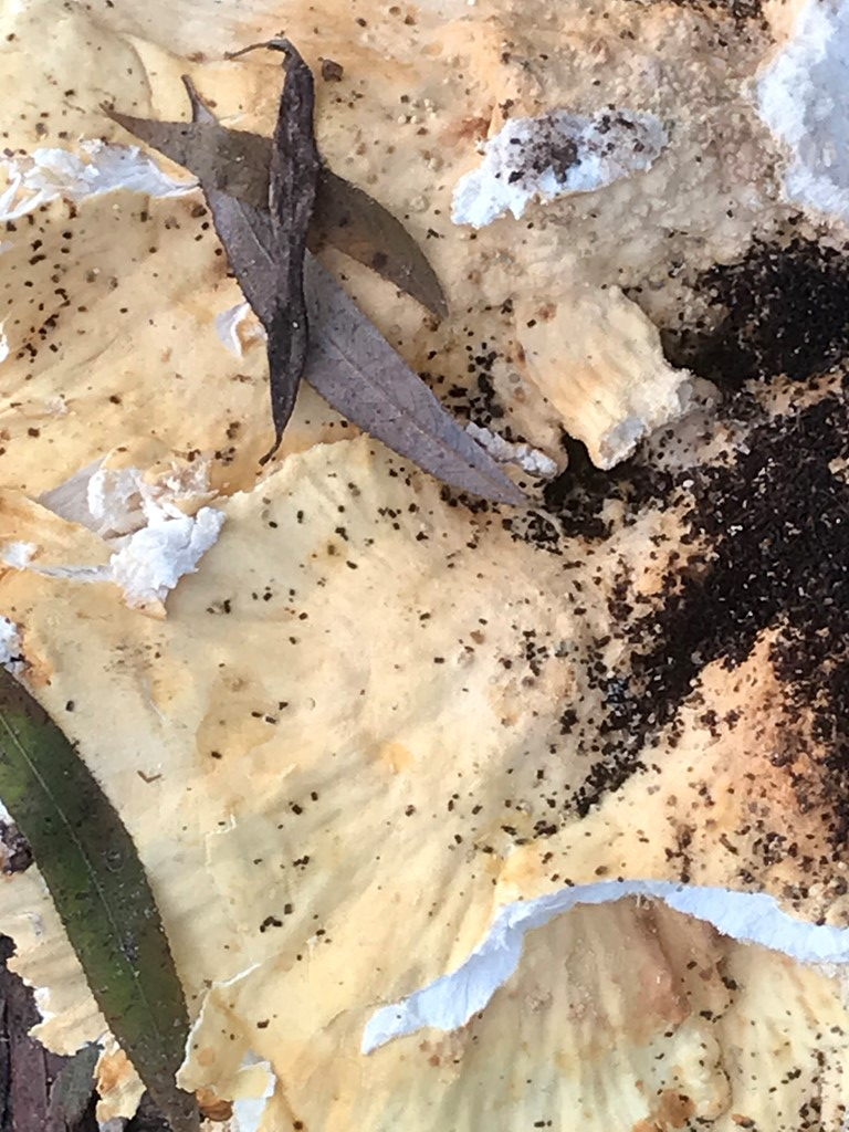 Foto/billede af Svovlporesvamp (Laetiporus sulphureus)