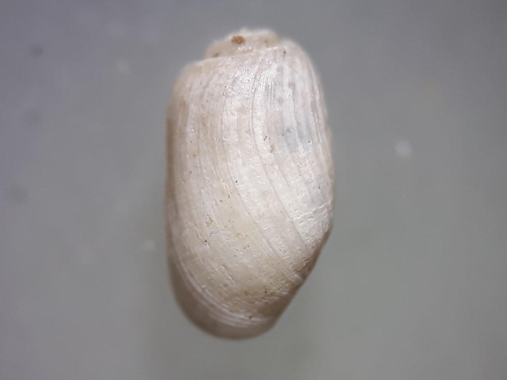 Foto/billede af Cylindersnegl (Cylichna cylindracea)