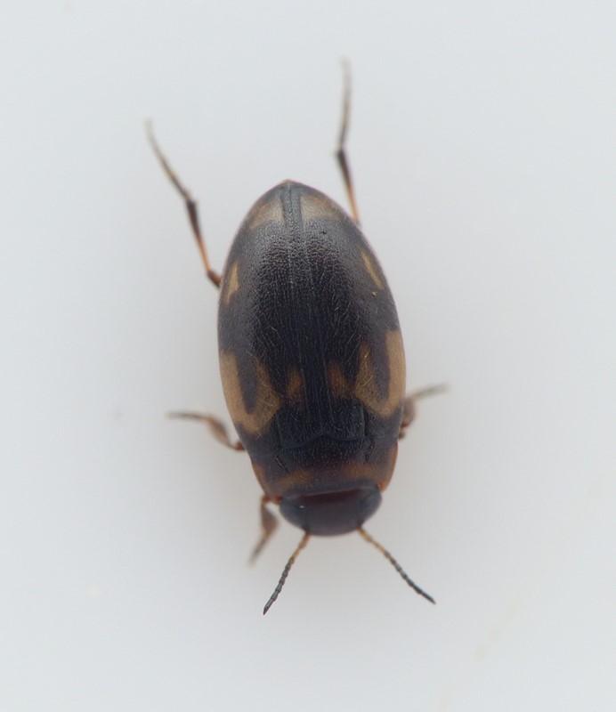 Hydroglyphus geminus (Hydroglyphus geminus)