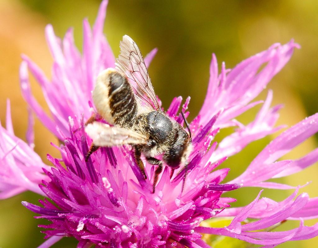 Foto/billede af Stor Bladskærerbi (Megachile lagopoda)