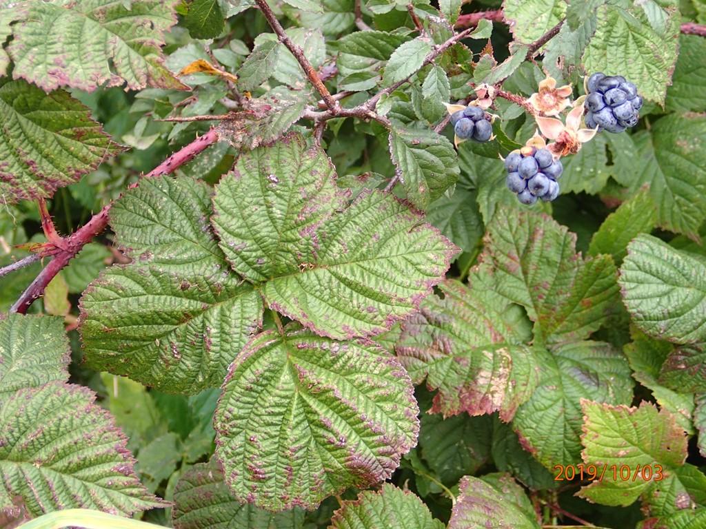 Foto/billede af Korbær (Rubus caesius)
