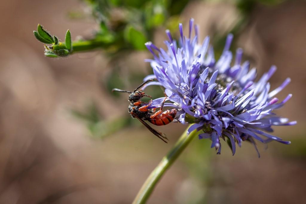Foto/billede af Rødbrun Hvepsebi (Nomada similis)