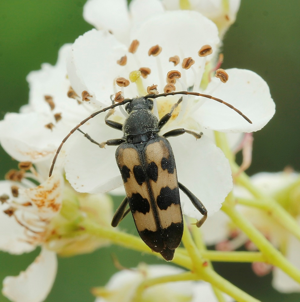 Foto/billede af Seksbåndet Blomsterbuk (Judolia sexmaculata)