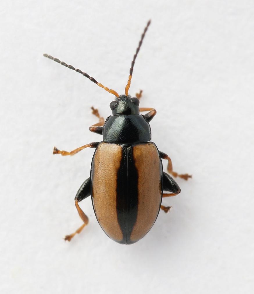 Phyllotreta armoraciae (Phyllotreta armoraciae)