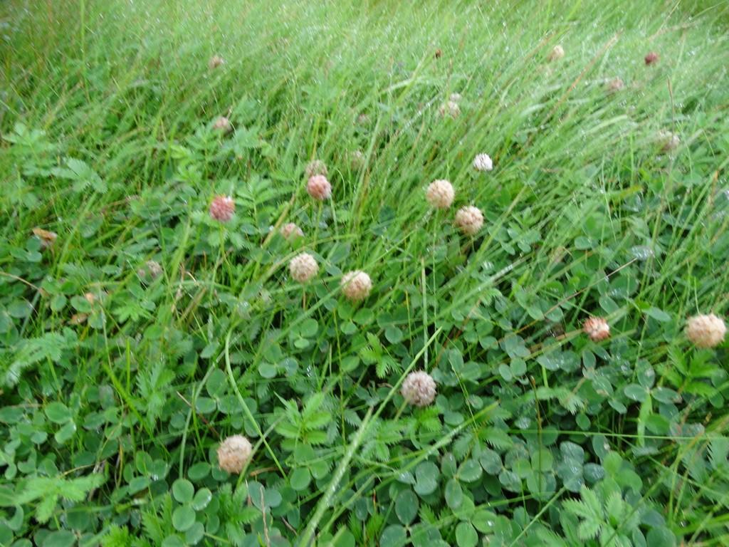 Jordbær-Kløver