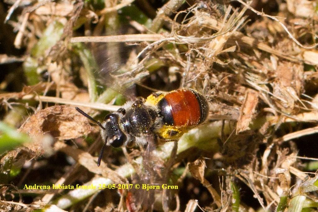 Foto/billede af Blodjordbi (Andrena labiata)