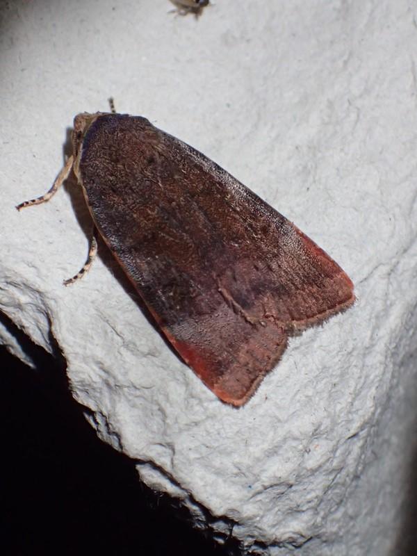 Brunviolet Smutugle (Noctua janthe)