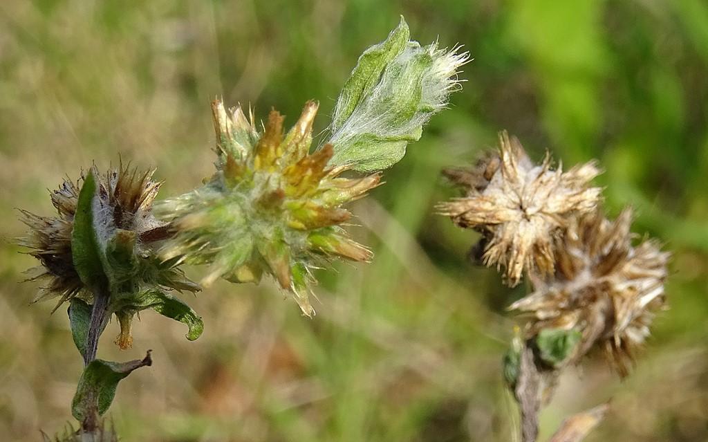 Foto/billede af Kugle-Museurt (Filago vulgaris)