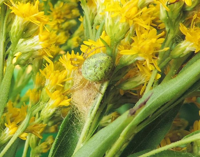 Foto/billede af Agurkehjulspinder (Araniella cucurbitina)