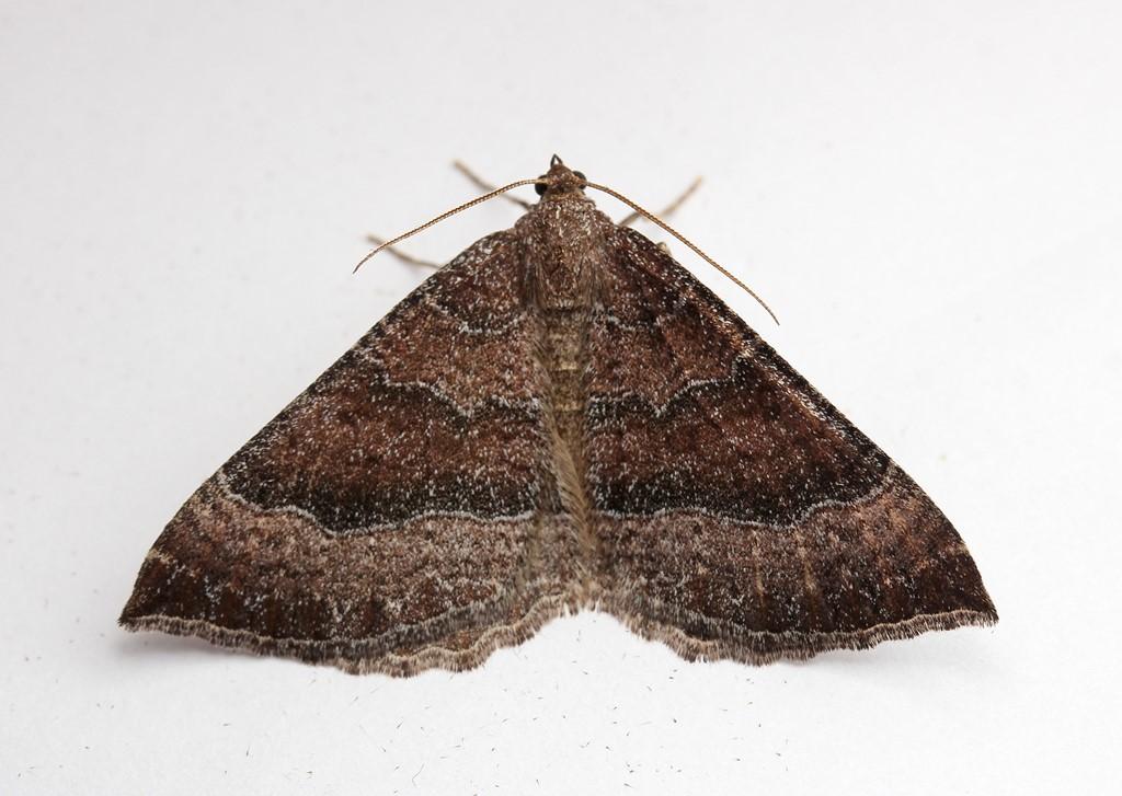 Foto/billede af Katostmåler (Larentia clavaria)