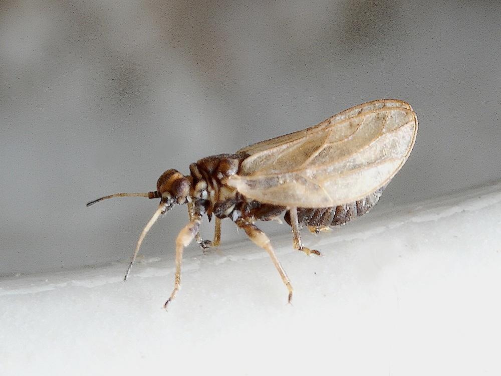 Gåsefodbladloppe (Trioza chenopodii)