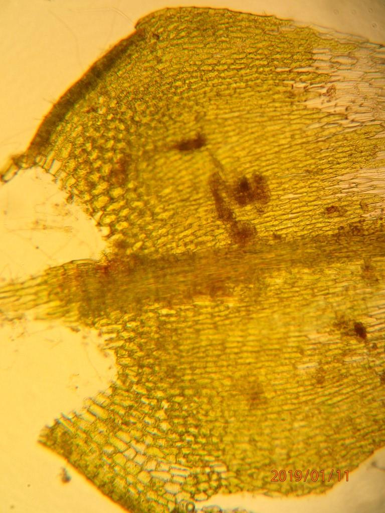 Foto/billede af Park-Kortkapsel (Brachythecium populeum)