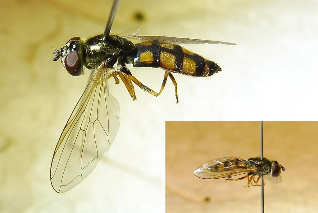 Skjold-Bredfodsflue (Platycheirus clypeatus)