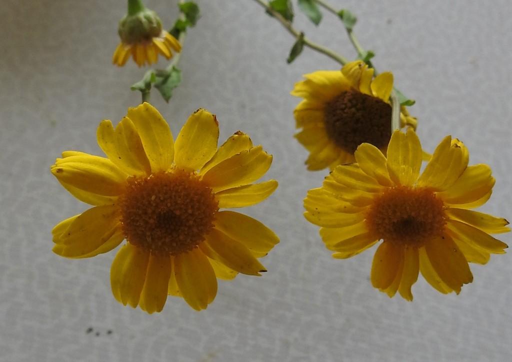 Foto/billede af Gul Okseøje (Chrysanthemum segetum)