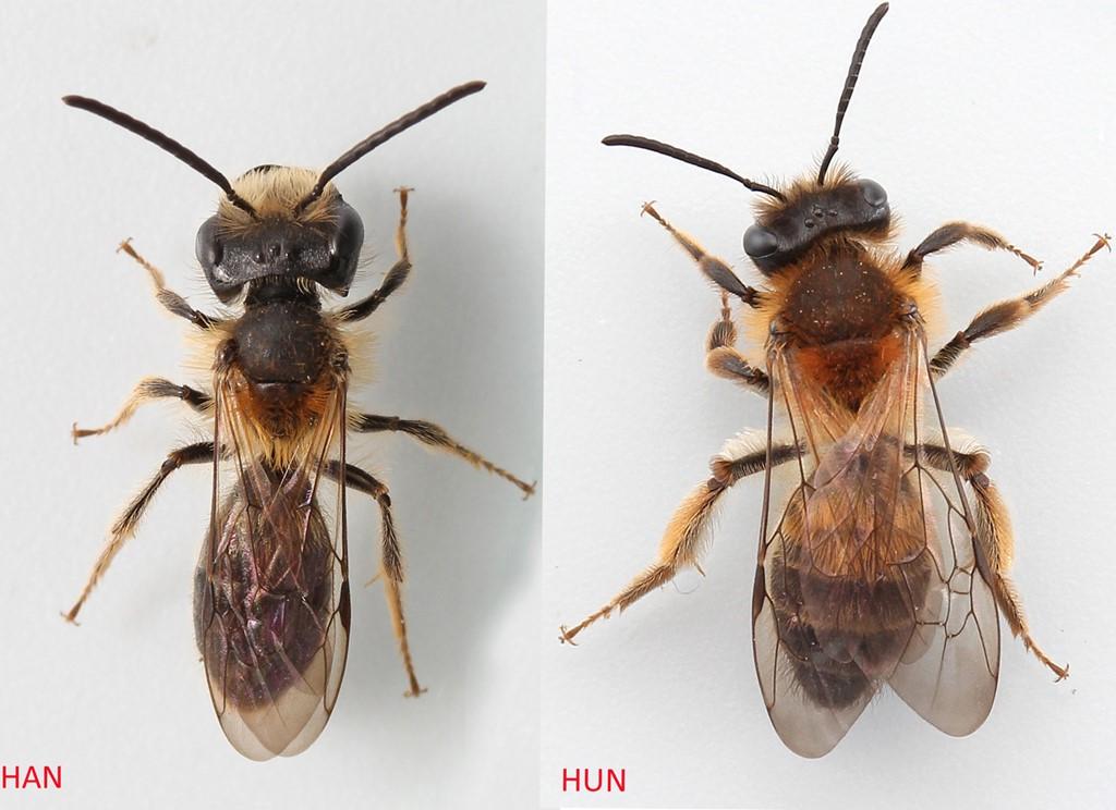 Foto/billede af Æblejordbi (Andrena helvola)