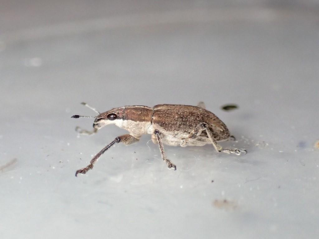 Foto/billede af Charagmus gressorius (Charagmus gressorius)