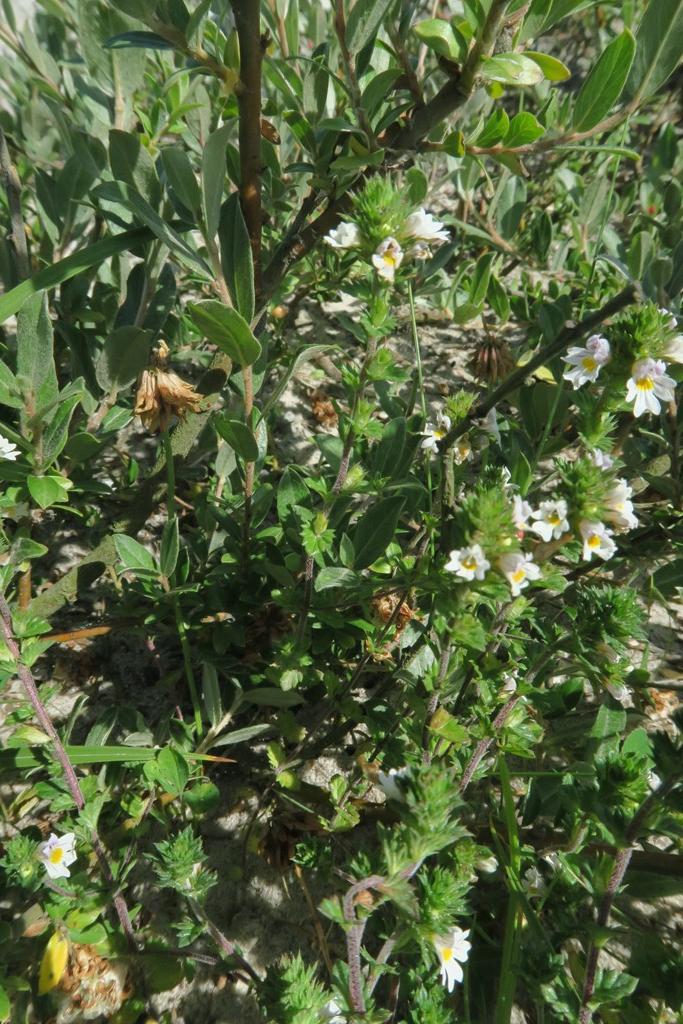 Foto/billede af Lyng-Øjentrøst (Euphrasia micrantha var. micrantha)