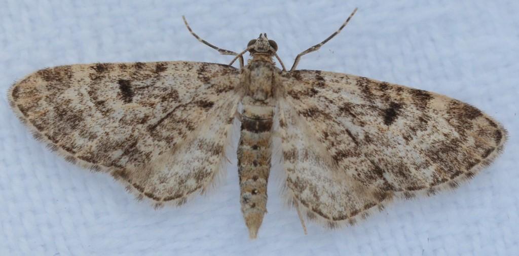 Foto/billede af Grå Grandværgmåler (Eupithecia tantillaria)