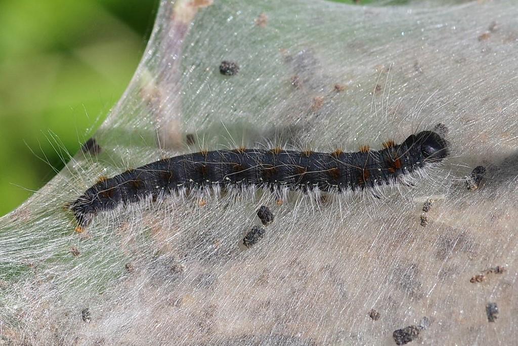 Foto/billede af Uldhale (Eriogaster lanestris)