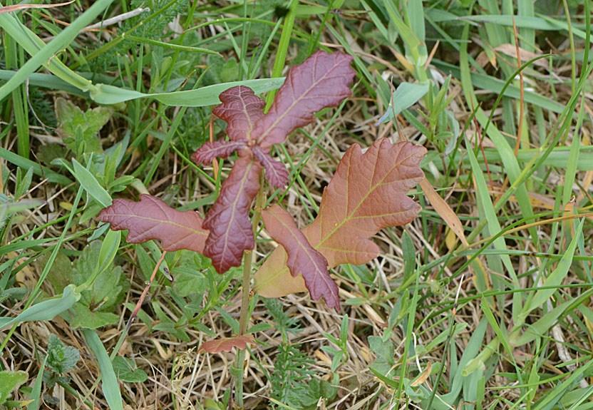 Foto/billede af Stilk-eg (Quercus robur)