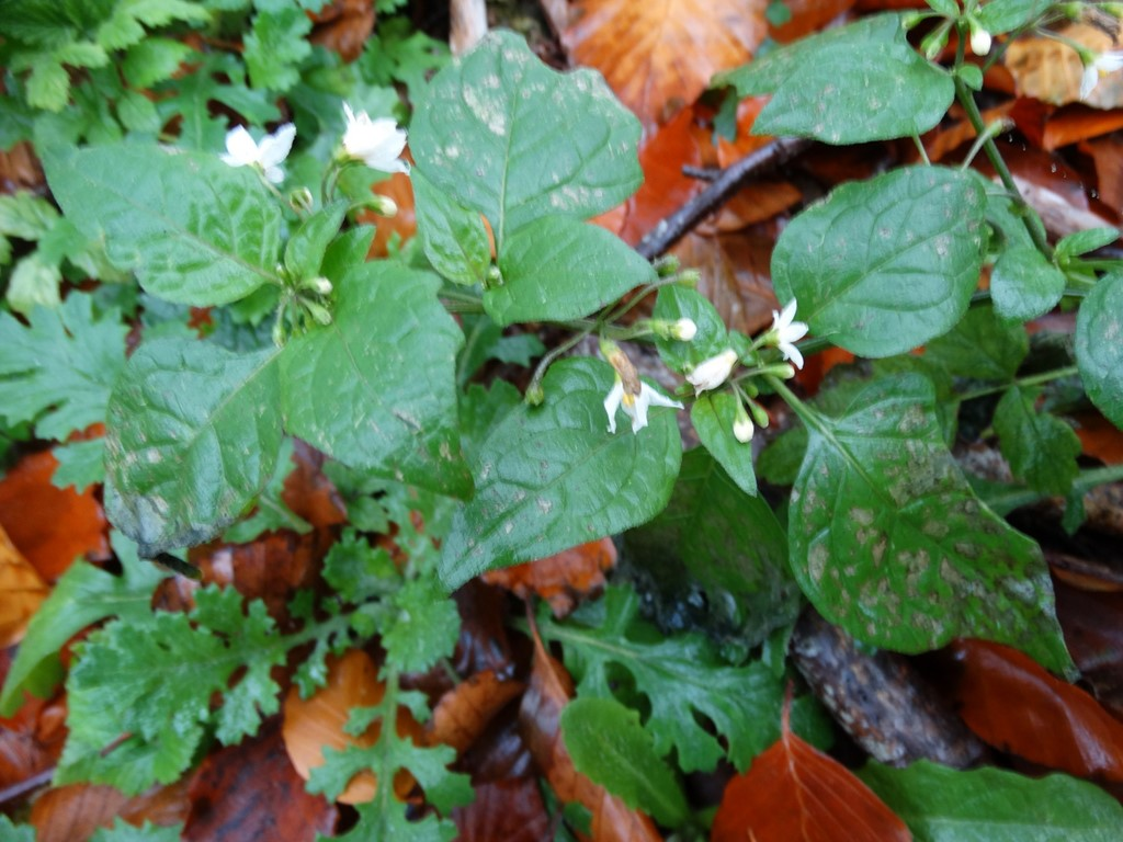 Foto/billede af Sort Natskygge (Solanum nigrum)