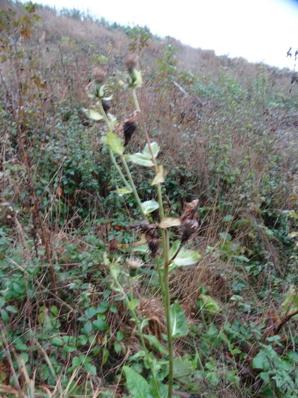 Foto/billede af Kål-Tidsel (Cirsium oleraceum)