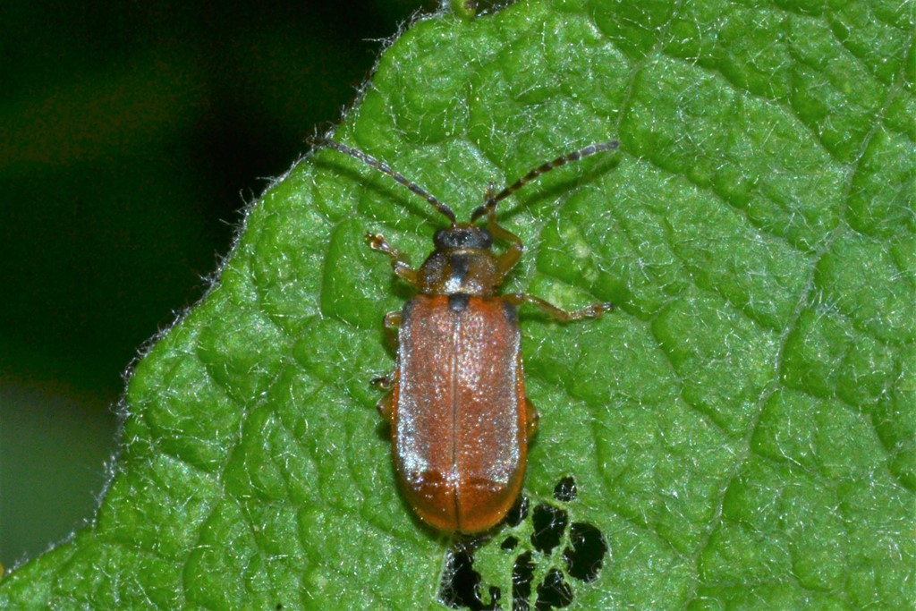 Galerucella calmariensis (Galerucella calmariensis)