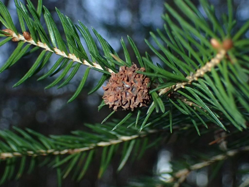 Foto/billede af Jordbærgallelus (Adelges laricis)