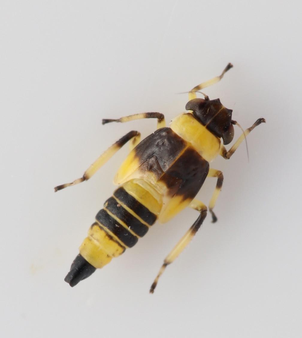 Foto/billede af Eupterycyba jucunda (Eupterycyba jucunda)
