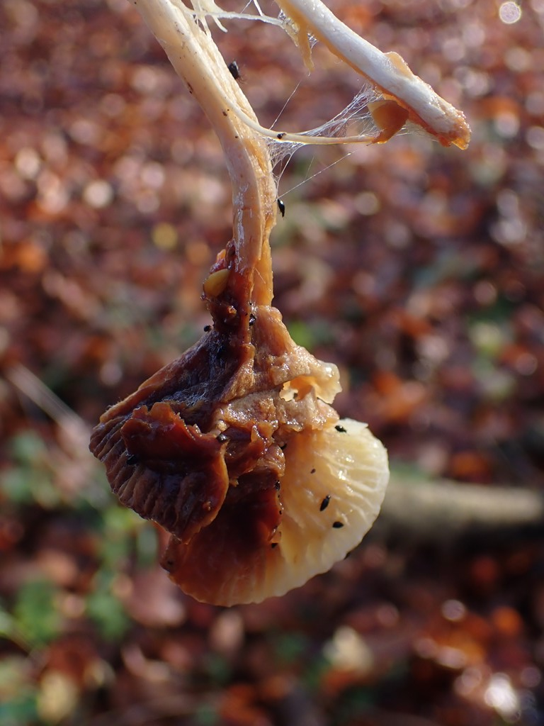 Ildelugtende Sneglehat (Hygrophorus discoxanthus)