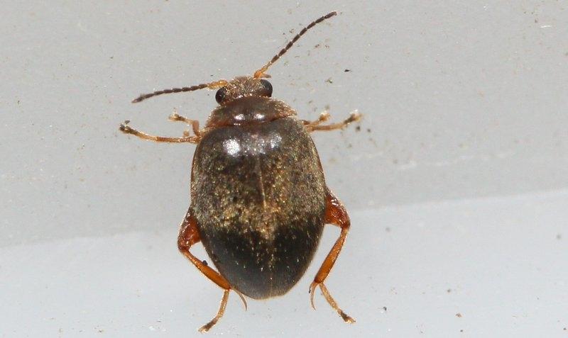 Foto/billede af Scirtes orbicularis (Scirtes orbicularis)
