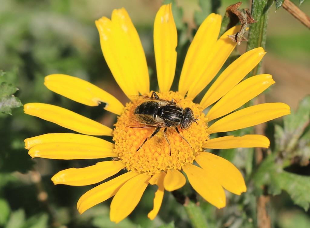 Foto/billede af Gødnings-Dyndflue (Eristalinus sepulchralis)