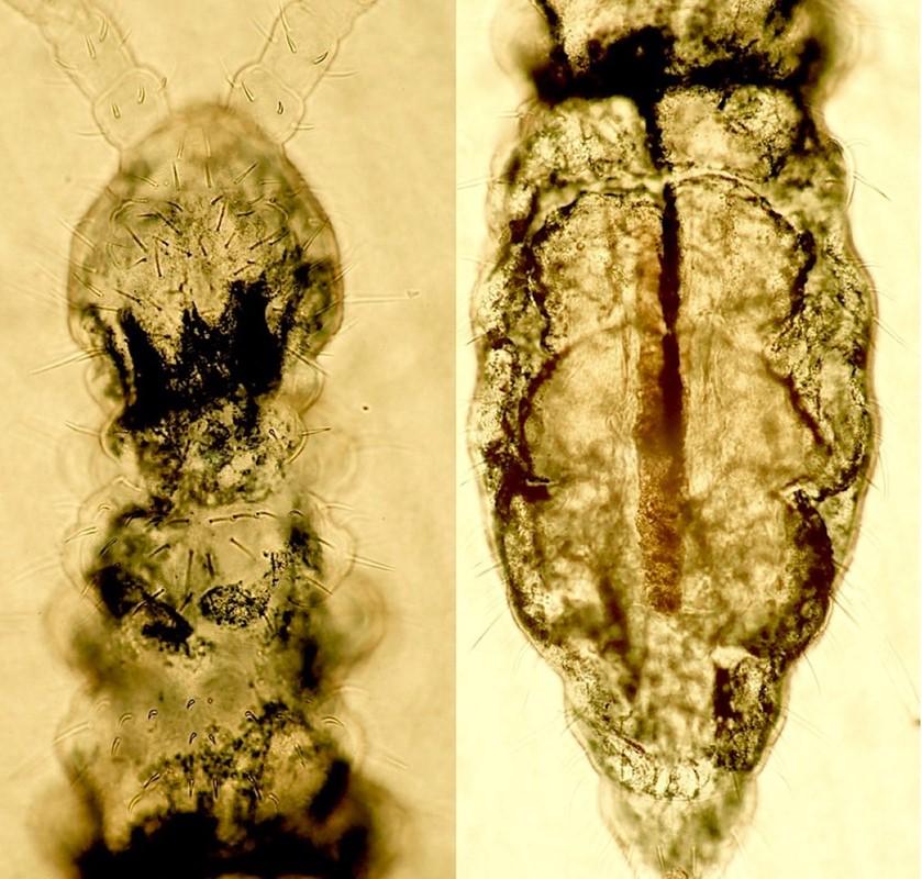 Foto/billede af Hypogastrura distincta (Hypogastrura distincta)