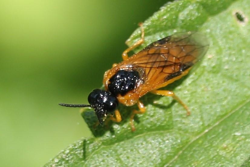 Selandria serva (Selandria serva)