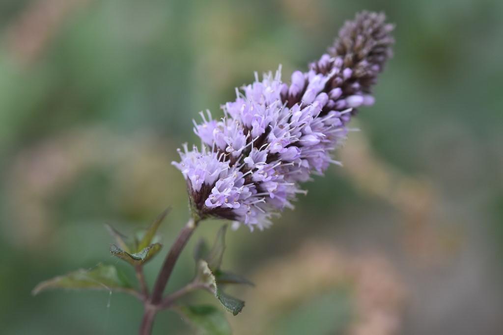 Peber-Mynte (Mentha x piperita)