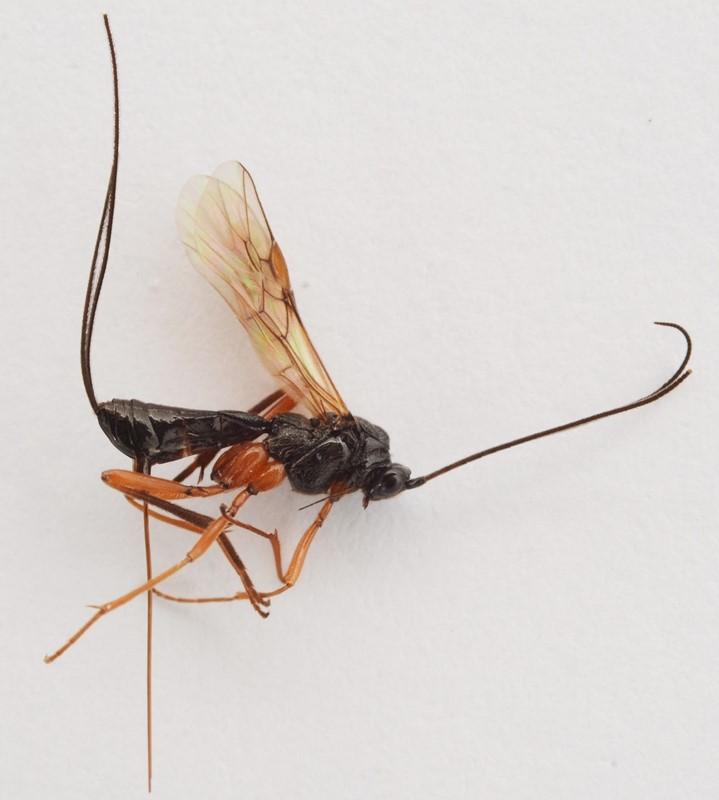 Macrocentrus nidulator