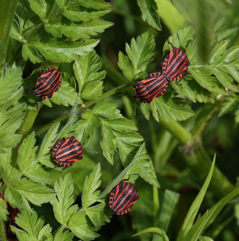 Foto/billede af Stribetæge (Graphosoma italicum)