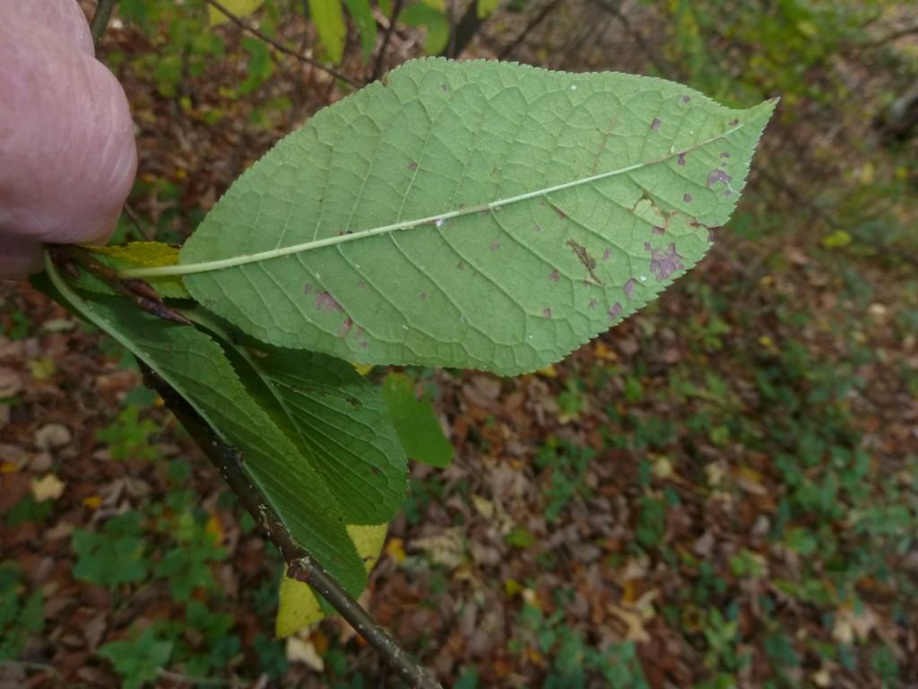 Foto/billede af Almindelig Hæg (Prunus padus)