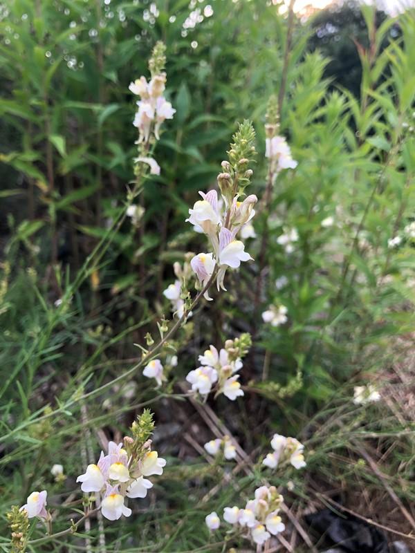Linaria repens x vulgaris (Linaria repens x vulgaris)