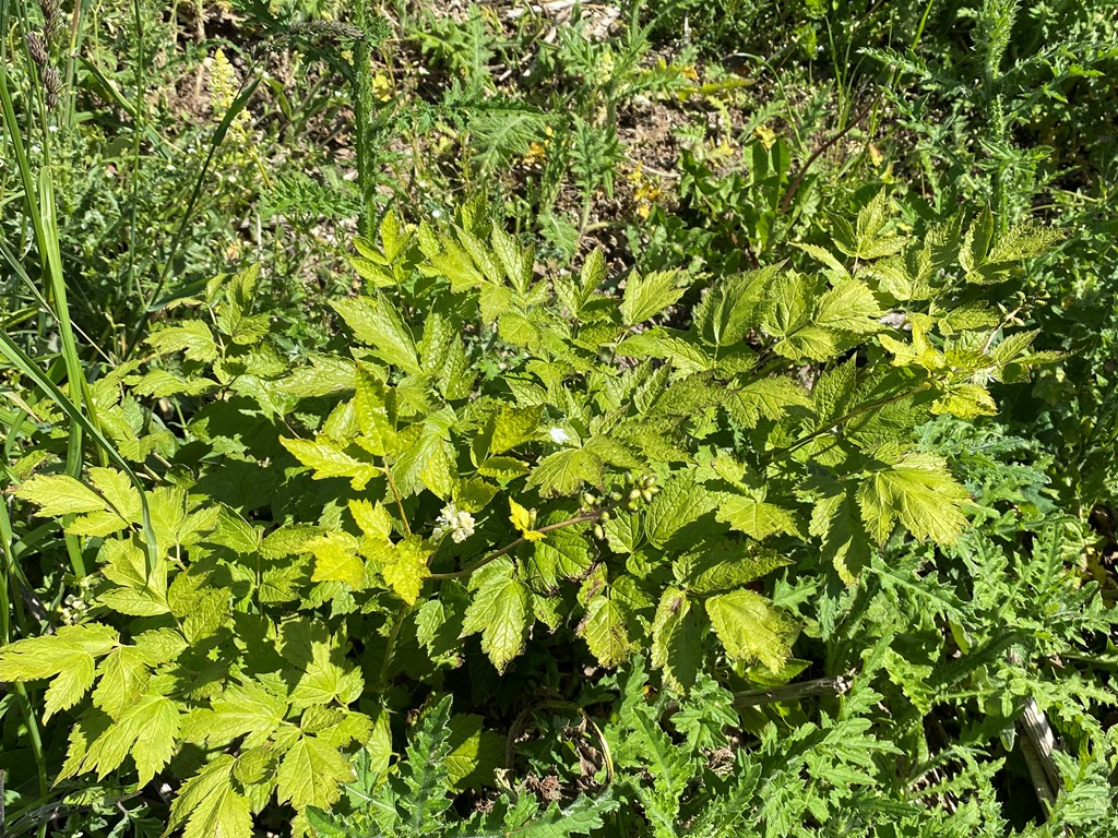 Druemunke (Actaea spicata)