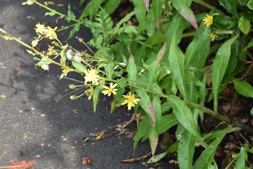 Foto/billede af Bredbladet Høgeurt (Hieracium virgultorum)