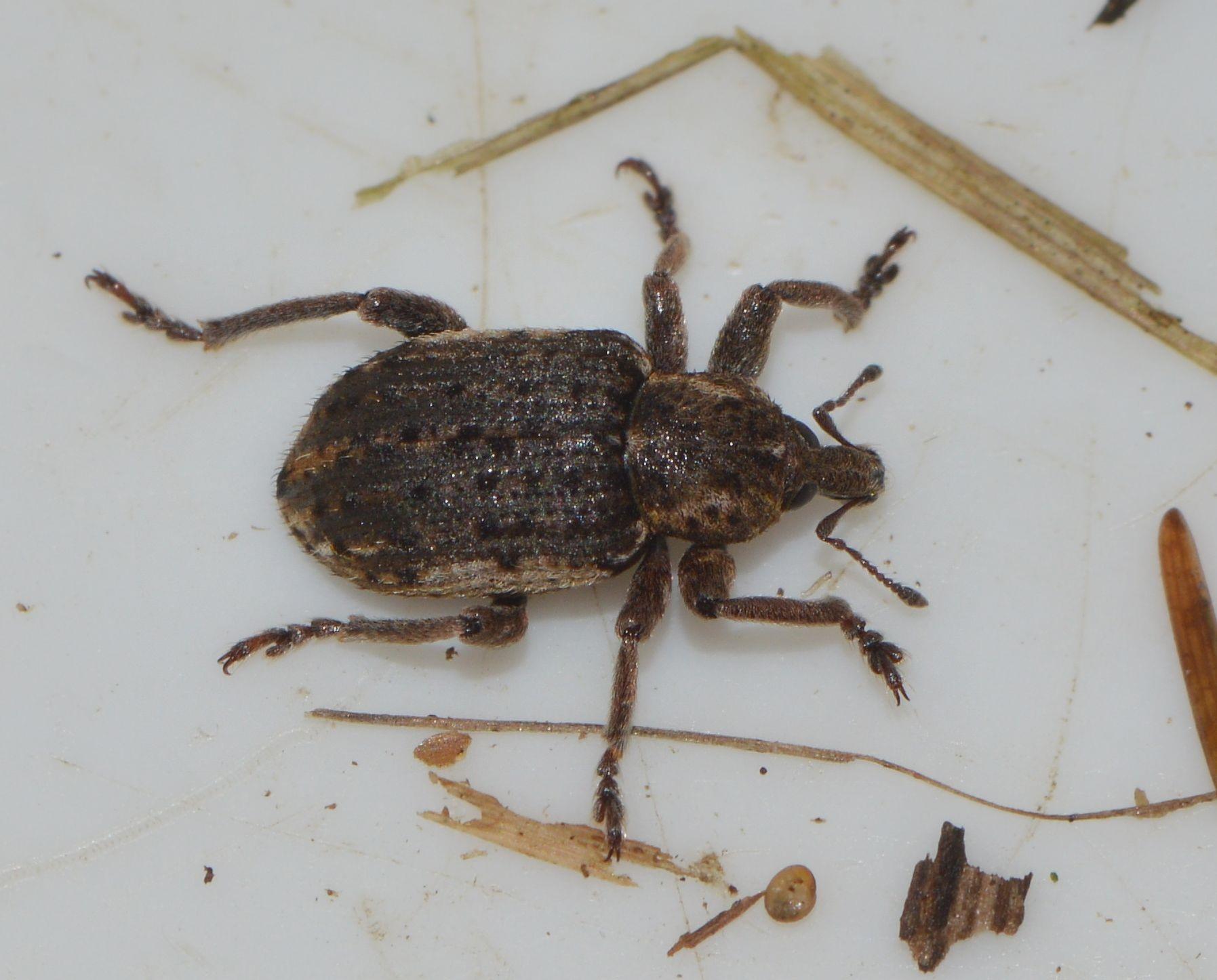 Brachypera zoilus (Brachypera zoilus)