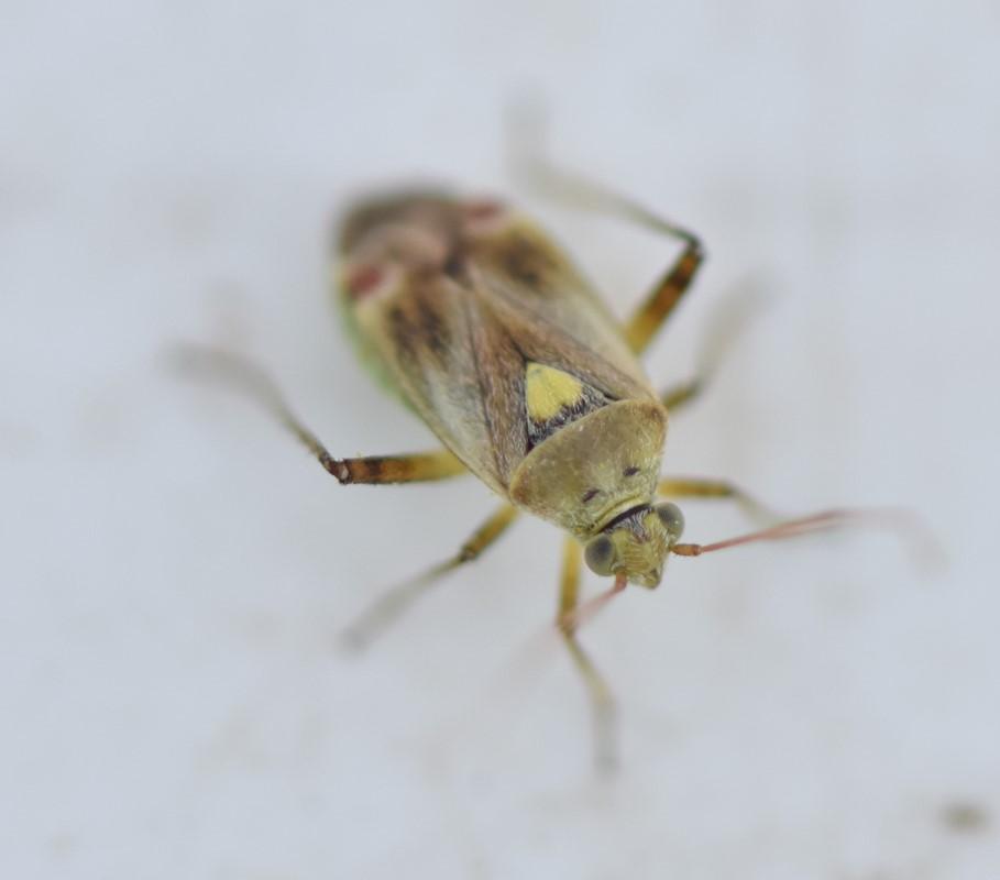 Lys Snerretæge (Polymerus vulneratus)