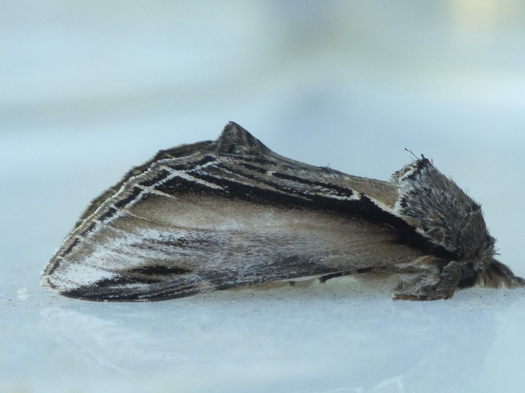 Foto/billede af Poppelporcelænsspinder (Pheosia tremula)