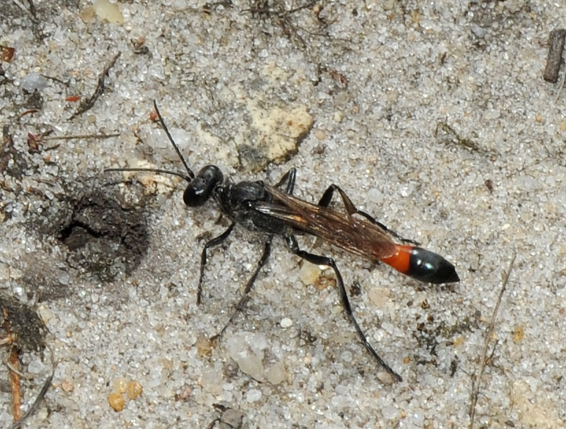 Ammophila pubescens (Ammophila pubescens)